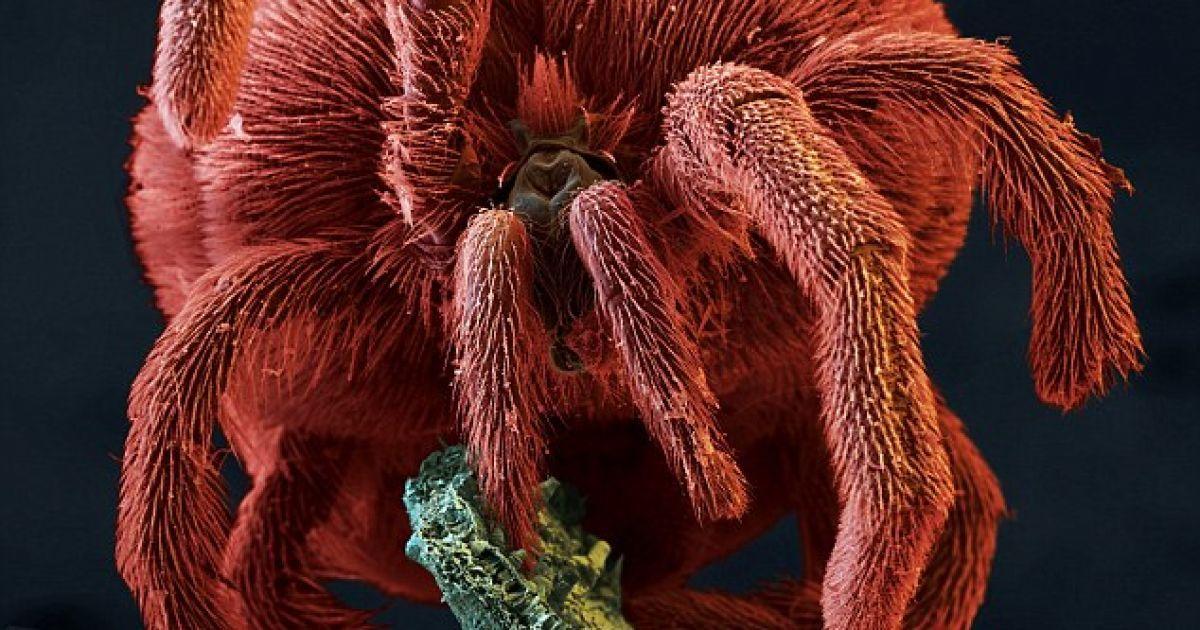 Оксамитовий кліщ, що живе у верхніх шарах грунту, може досягати 2 см в довжину @ Solent news and photo agency