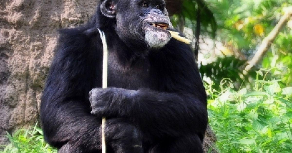 Шимпанзе порно youtube com