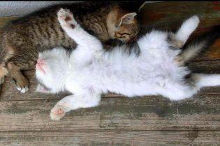 Котята спасли жизнь лисенку