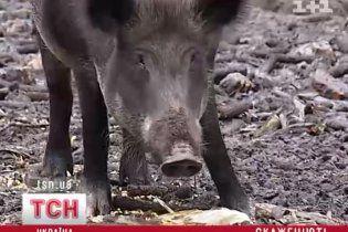 Браконьєри табунами відстрілюють кабанів на кукурузник полях Чернігівщини