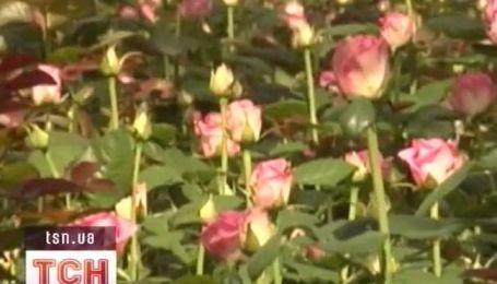 Тысячи роз для Мадонны будут выращивать в Украине