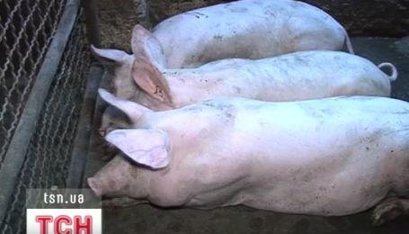 На Запорожье селяне отказываются отдавать ветеринарам свиней