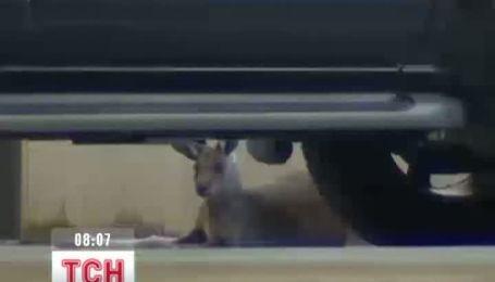У Австралії біля аеропорту заблукав кенгуру