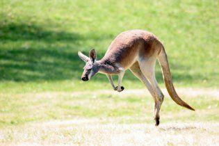 В Австралии изверг на пикапе задавил 20 кенгуру за вечер