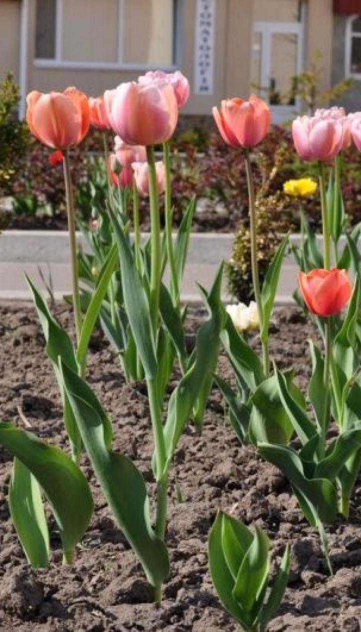 Аллея тюльпанов