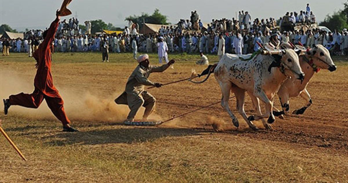 """Пакистан, Мітьял. Глядачі активно підтримують """"жокея"""", який бере участь у перегонах на биках, які пройшли у селищі Мітьял, провінція Пенджаб. Перегони на биках є традиційною і найбільш поширеною протягом літніх місяців розвагою. @ AFP"""