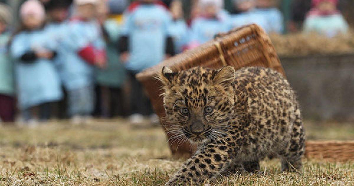 Северо-китайский леопард Некама родился в берлинском зоопарке @ AFP