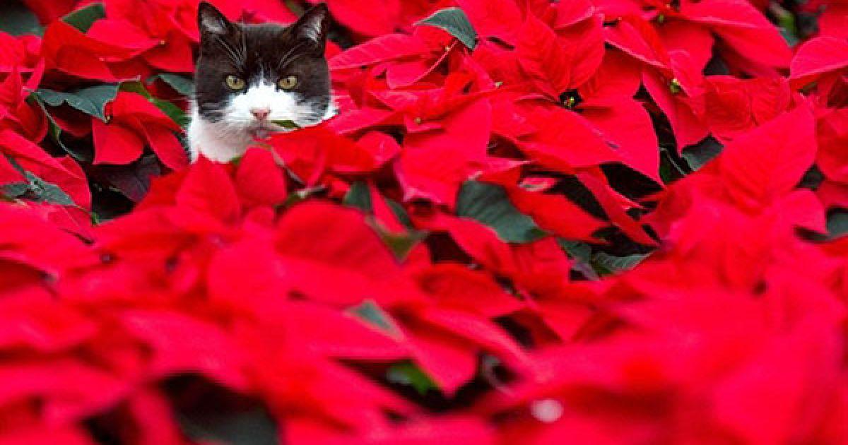 Німеччина. Кіт сидить серед квіток на фермі у місті Бісков. Ці квітки традиційно вирощують, як прикраси на Різдво. @ AFP