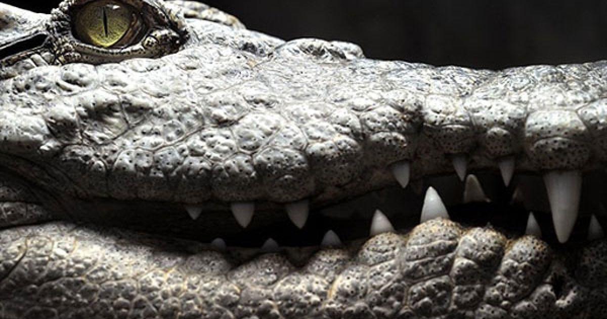 Швейцарія, Сервіон. Сіамський крокодил у тропікаріумі зоопарку в місті Сервіон неподалік від Лозанни. @ AFP