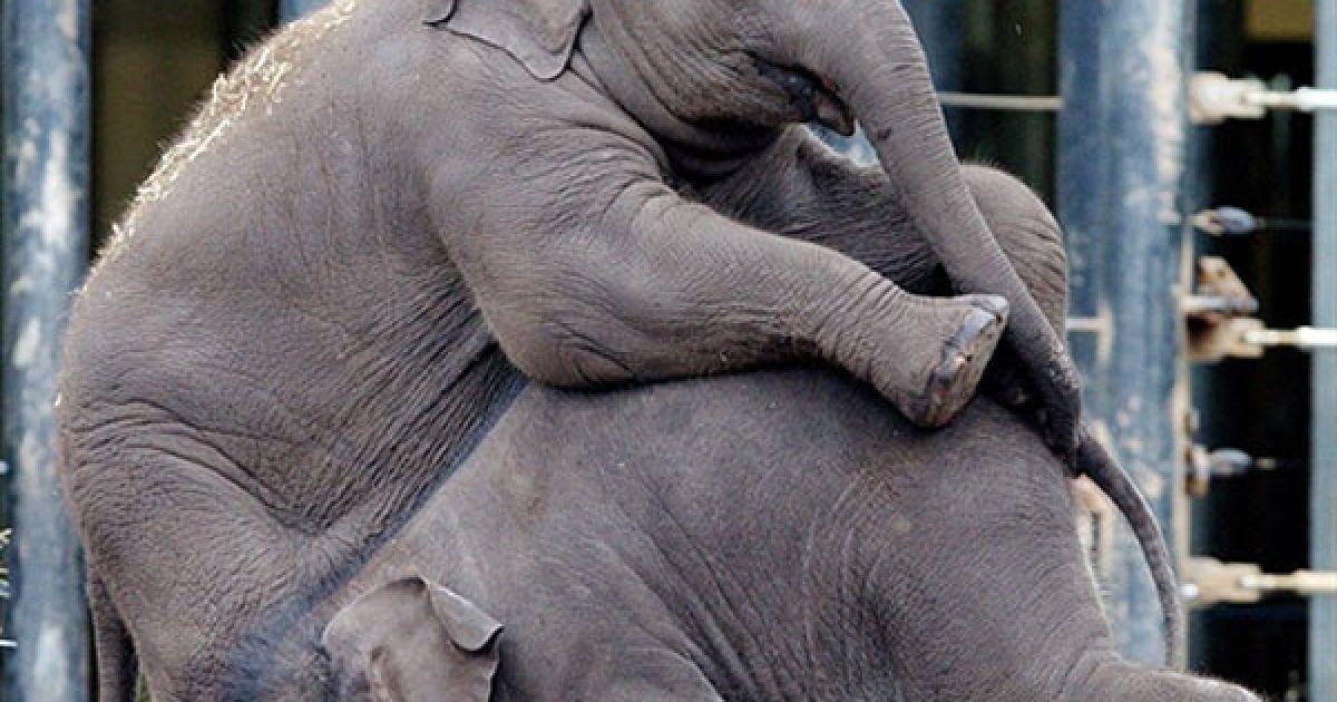 Австралія, Сідней. Слоненяти Лук Чай і Паті Харн граються у сіднейському зоопарку Таронга. AFP PHOTO/ зоопарк Таронга/РВК STEVENS @ AFP