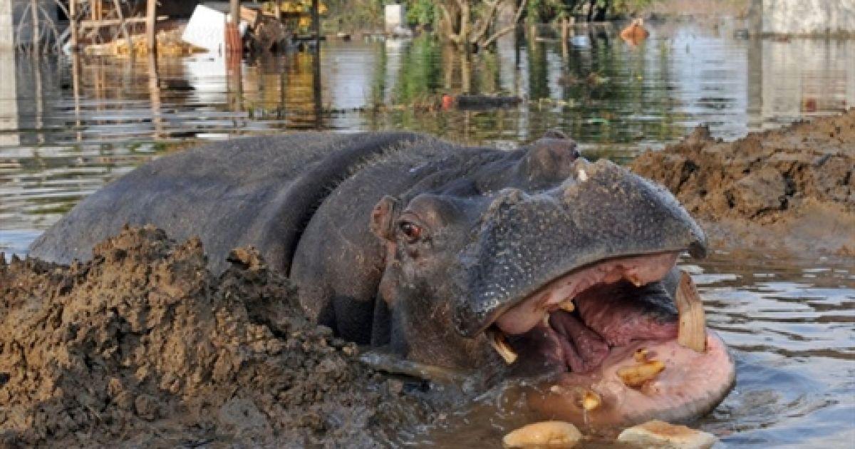 Самка бегемота на прізвисько Нікіца регулярно втікає із зоопарку @ AFP