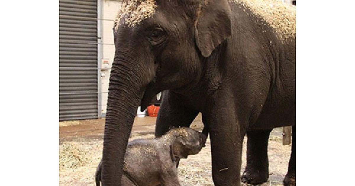 Австралія, Сідней. Новонароджене слоненя поруч зі своєю матір'ю у зоопарку Таронга в Сіднеї. Фото AFP PHOTO/BOBBY-JO VIAL/HO/TARONGA ZOO @ AFP