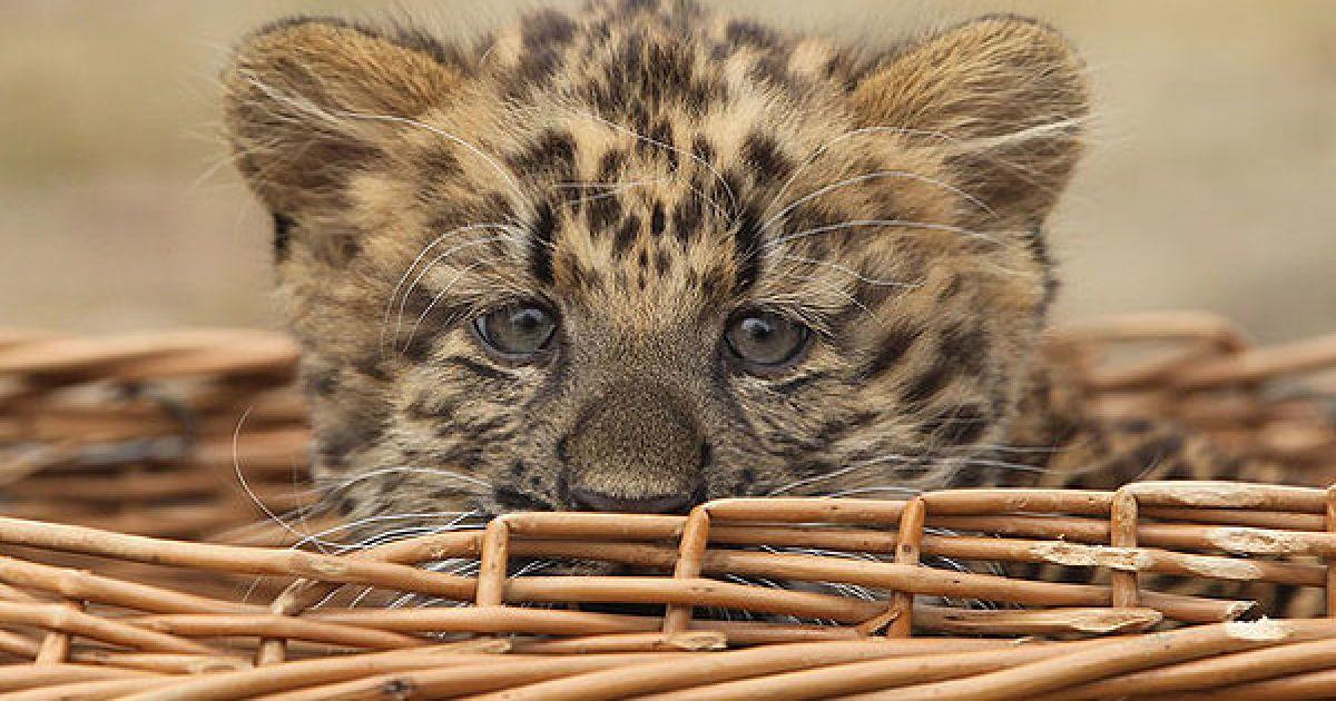 Северо-китайский леопард Некама родился в берлинском зоопарке. @ AFP