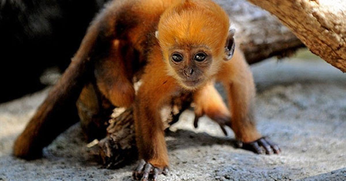 Австралія, Сідней. Яскраво-помаранчеве дитинча листогризучих мавп Кео-Сі роздивляється свій вольєр у зоопарку Таронга в Сіднеї. Кео-Cі народився у самки на прізвисько Сайгон і батька Ханоя. @ AFP