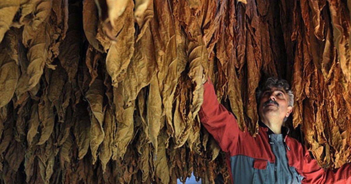 Франція, Сен-Лоран-ла-Валле. Французький фермер Крістіан Карьє перевіряє, як сушиться тютюнове листя на його фермі у Сен-Лоран-ла-Валі, на півдні Франції. @ AFP