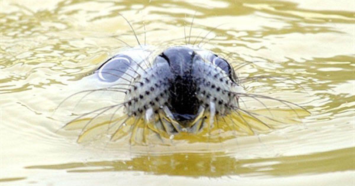 Німеччина. Дитинча cірого тюленя на призвісько Робін плаває у своєму басейні у центрі реабілітації тварин в місті Фрідріхског, північна Німеччина. Він був знайдений на острові Пеллворм у Північному морі, в центрі його вилікують та відгодують і повернуть у Північне море. @ AFP