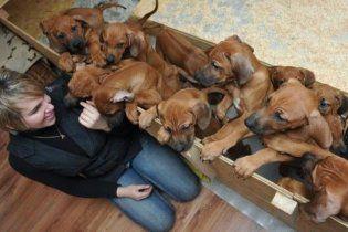 У Німеччині собака народила 17 цуценят (відео)