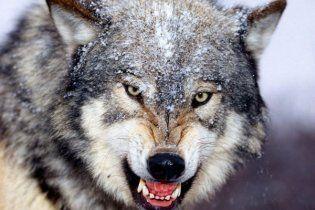 Села на Кінбурнській косі атакують натовпи голодних вовків