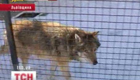 Настоящее спасение волка организовали две киевские девушки