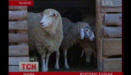 Терміново шукають  двох баранів на службу у шкір вендиспансер