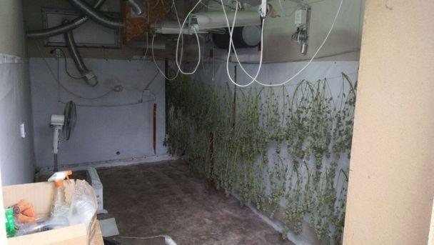 """На Київщині СБУ """"накрила"""" величезну плантацію марихуани: вилучено 500 кущів та 200 саджанців"""