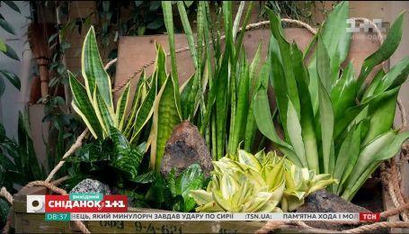 Сансевиерия: уход и размножение в домашних условиях - Зеленый участок