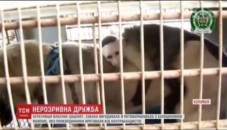 У Бразилії собака вигодувала капуцинову мавпу, втративши власних цуценят