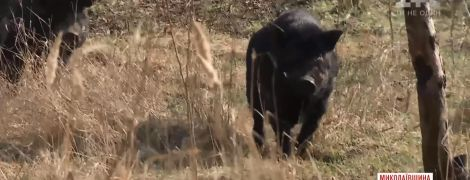Вьетнамские свиньи разорвали своего хозяина-пенсионера на Николаевщине