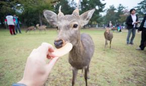 В Японии олени все чаще кусают туристов из-за обмана
