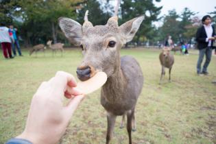 В Японії олені все частіше кусають туристів через обман