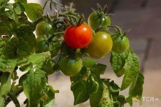 Весенний сад: как вырастить в квартире чай, имбирь и тыкву