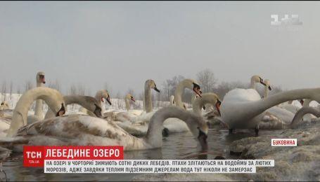 На Буковине зимует рекордное количество диких лебедей