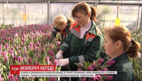 Посеред кучугур снігу: у Києві в оранжереях розквітло більше 70 тисяч тюльпанів