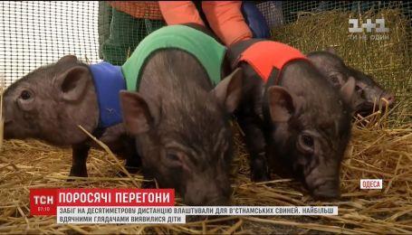 В Одесі влаштували забіг в'єтнамських свинок