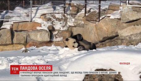 В Финляндии впервые показали двух пандочек из Китая
