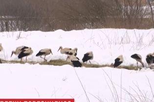 Тисячі лелек повернулися з теплих країв до України і опинилися під загрозою загибелі від холоду і голоду