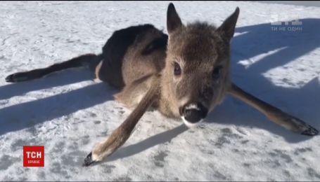 В Финляндии пограничники спасли оленя, застрявшего на замерзшем озере
