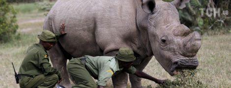 В Кении умер последний в мире белый носорог-самец