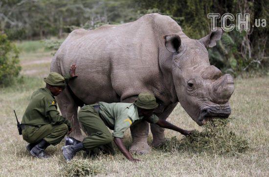 У Кенії помер останній в світі білий носоріг-самець