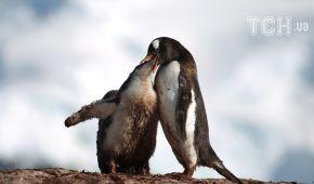 """""""Поцілунки"""" пінгвінів і захопливі види океану. Reuters показало неймовірні фото з Антарктиди"""