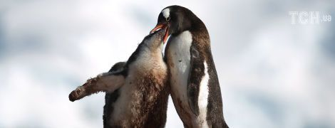 """""""Поцелуи"""" пингвинов и захватывающие виды океана. Reuters показало невероятные фото из Антарктиды"""