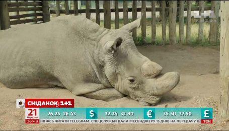 В Кении умер единственный в мире самец северного белого носорога