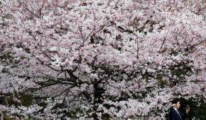 Токіо полонило неймовірне цвітіння сакури