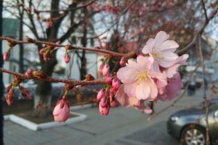 """Цвітіння сакури в Мукачеві почалося з """"шаленого"""" дерева"""