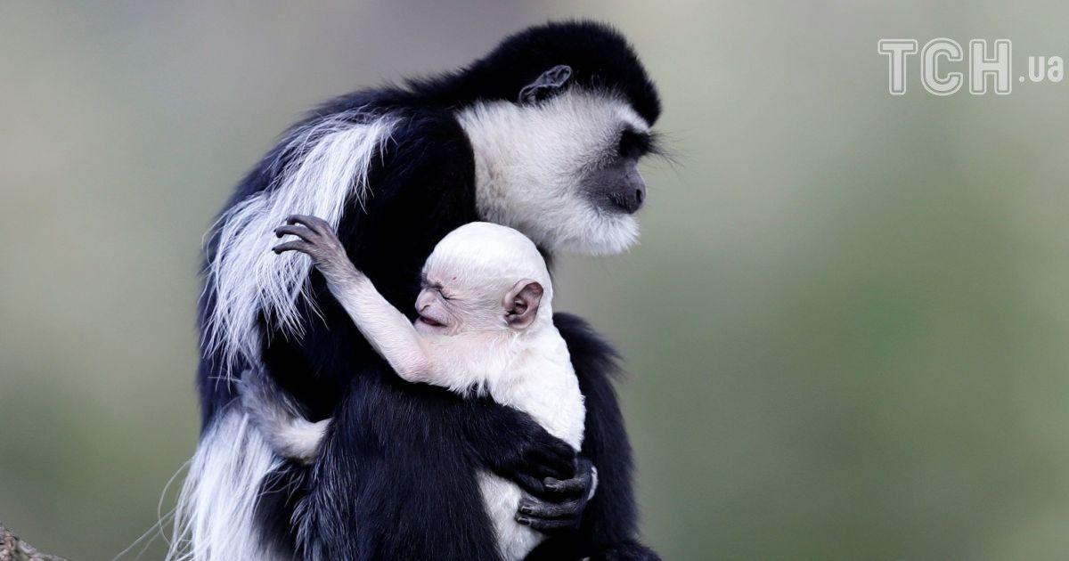 Обезьяньи объятия и поцелуи фламинго. Reuters показал трогательные фото из европейских зоопарков