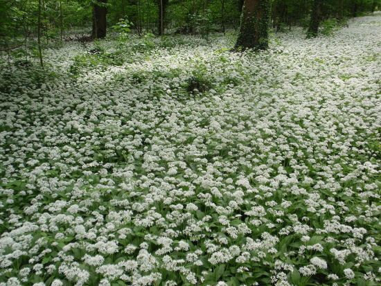 В Україні тоннами винищують червонокнижну лісову рослину