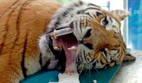 Reuters показало фото унікальної операції на стегні тигра в угорському зоопарку