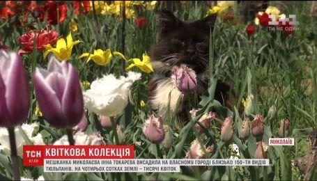 Жительница Николаева высадила тысячи тюльпанов на своем приусадебном участке