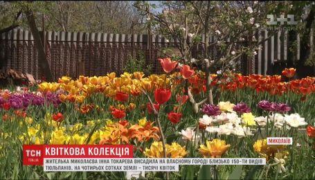 Тысячи тюльпанов на своем дворе вырастила жительница Николаева
