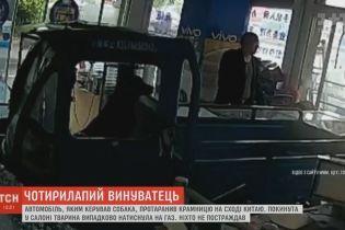 Пес за рулем фургона устроил погром в китайской лавке
